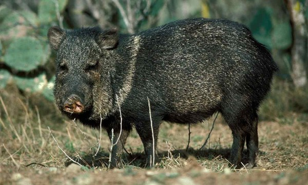 7 Tips For Having A Successful Javelina Hunting